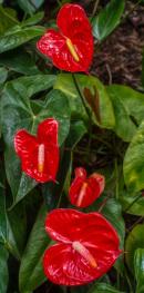 Garden anthuriums