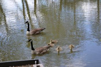 Goslings with their parents