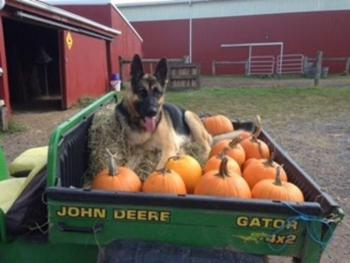 Annie helping with gathering fall pumpkins