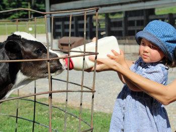 Bottle feeding a calf is lots of fun!