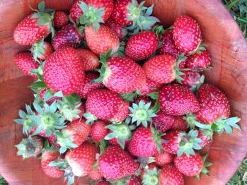 Farm Produce- Strawberries