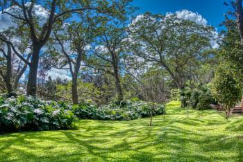 Back yard koa trees