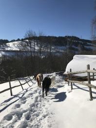Ambiance hivernale pour les trois chevaux de la famille