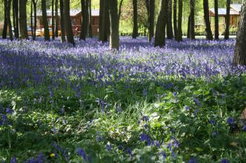Lodges in bluebells