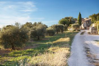 Le chemin, bordé d'oliviers, qui mène au Domaine Les Petites Vaines