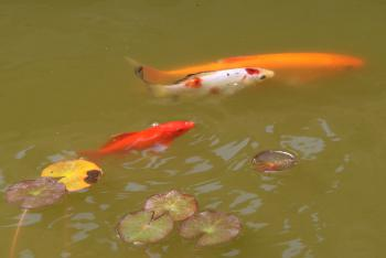 Fish in the Water Garden's Pond (shared area)