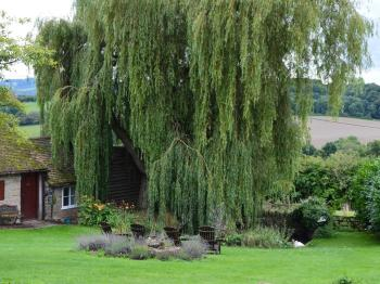 willow tree shading the duck pond