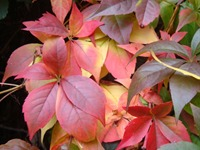 October Virginia Creeper