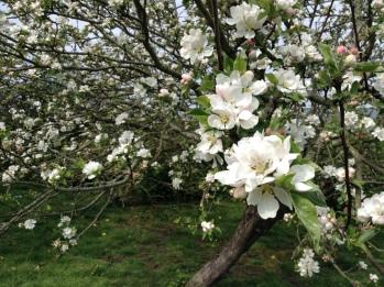 Apple blossom on the farm