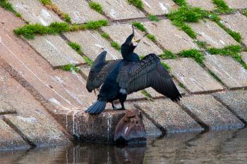 A cormorant passing through