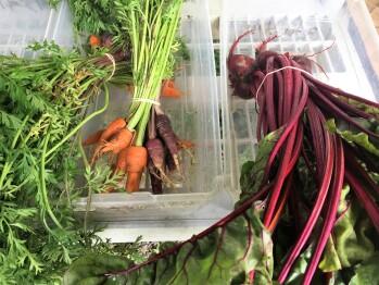 Farm Produce- Carrots and Beets