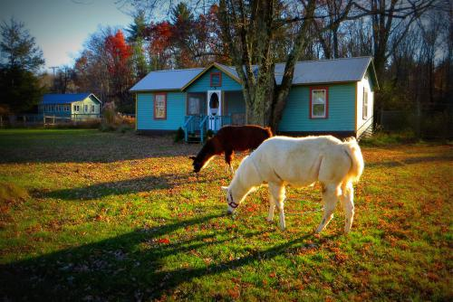 Our llamas browsing the lawn at the Wintergreen Cottage.