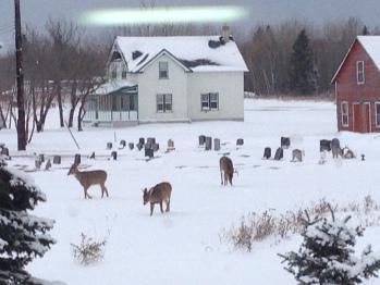 Deer Grazing in the yard