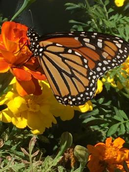 Monarch of the Gardens
