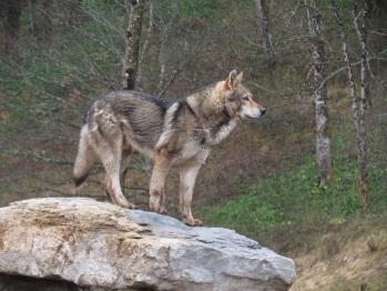 Parc animalier du Hérisson chien loup
