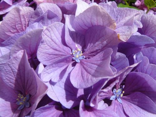 Fleur d'Hortensias du jardin