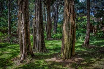 Back yard Portuguese cypress trees