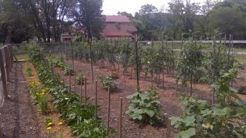 Tomatoes rising