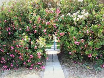 Oleanderbusch zwischen Strand und Garten