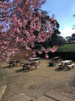 Cherry blossom in spring over the petanque court