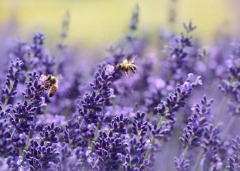 Les abeilles butinent la Lavande