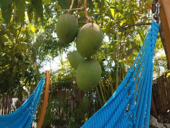 Red Mangos Before They are Ready from our Giant Mango Tree