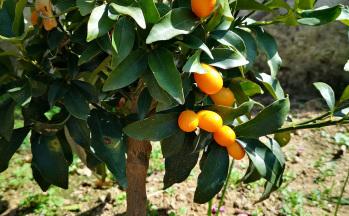 Garten mit Mandarinenbäumchen © Ferienwohnung Casa Belle Vacanze