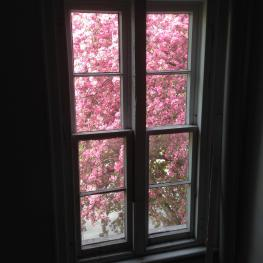 Crabapple tree in bloom.
