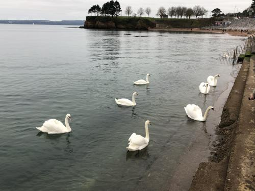 Torquay Sea Front Swans