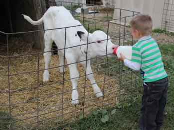 Bottle feed our newborn calves!