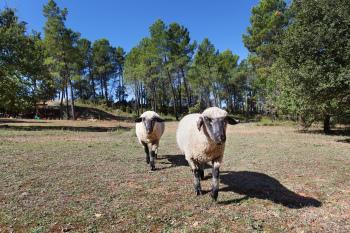 Martin et Arthur, nos deux moutons anglais