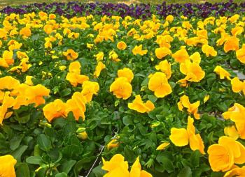 Pansies decorate the grounds every Spring!