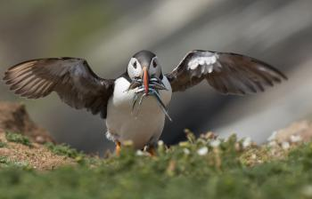 Bird watching - Puffins on Skomer Island