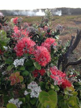 Lehua Blossoms at Steam Vents in Park