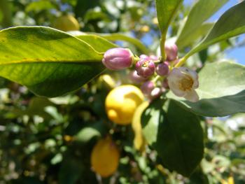 Our lemon tree