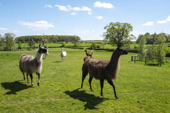 Six Llamas 'Dity, Bella, Penny, Katy, Dina and Elsa