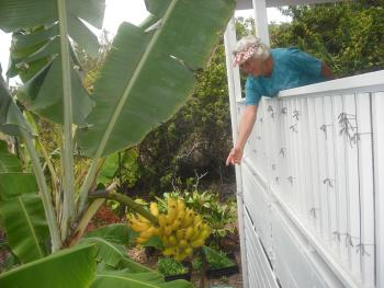 You can almost Pick Bananas from the Lanai