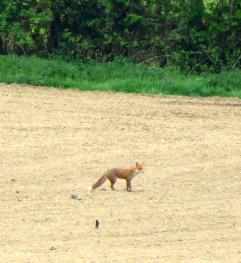 Fox in field opposite Little Orchard