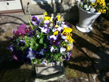 Spring pansies on the terrace