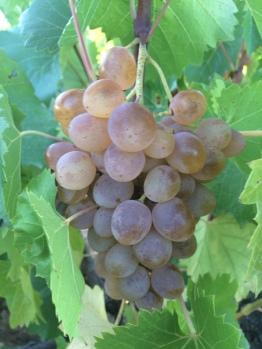 Uvas en viñedos locales