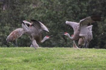 Sandhill cranes providing entertainment