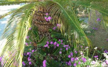 Garten Palme mit lila Blumen © Ferienwohnung Casa Belle Vacanze