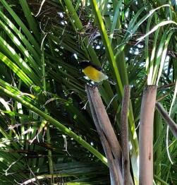 Sucrier (oiseau local)