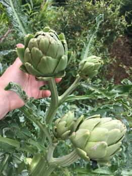 Farm Produce- Artichokes