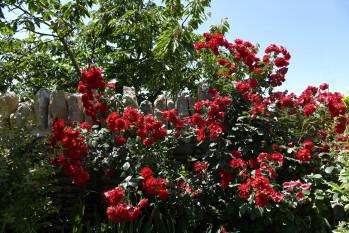 La floraison des roses du jardin