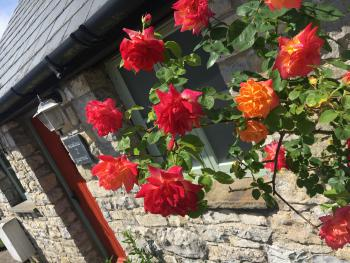 Roses blooming at Moorshead Cottages