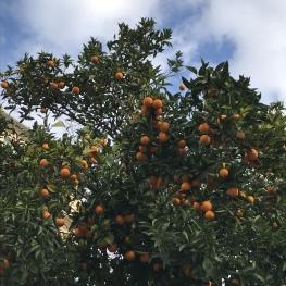 Notre oranger 100% pur bio ;-)