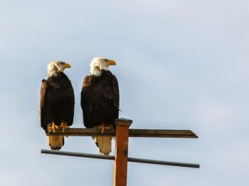 Eagles on the perch on the dunes