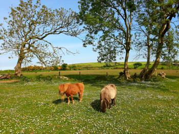 Our Shetland Ponies