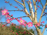 Plum blosssom in February
